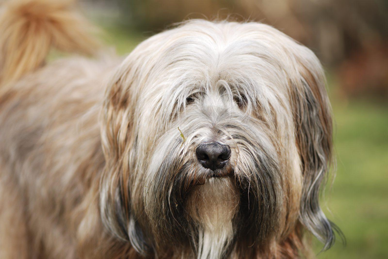 cao-terrier-tibetano-aparencia