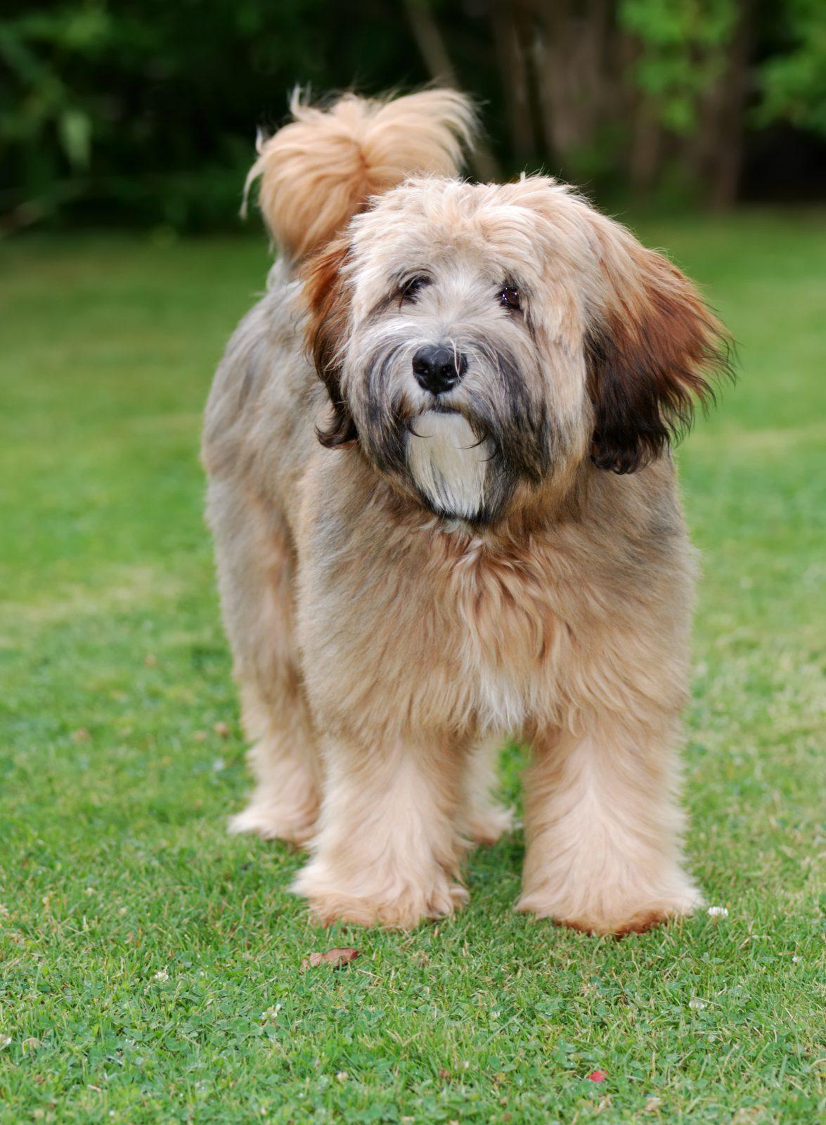 cao-terrier-tibetano-origem