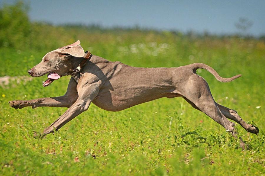 cachorro-weimaraner-atividade