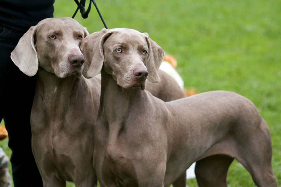 cachorro-weimaraner-intro