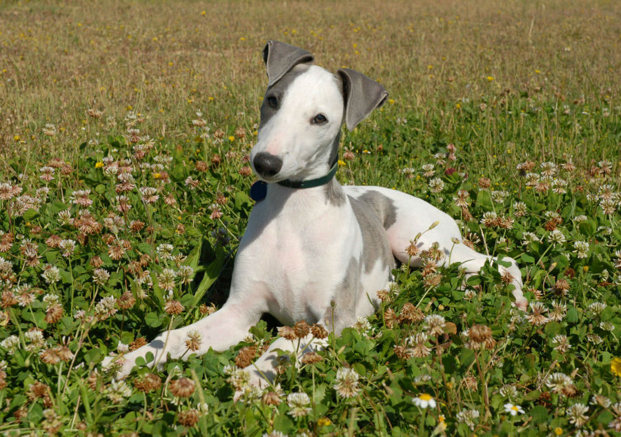 whippet-ambiente-ideal