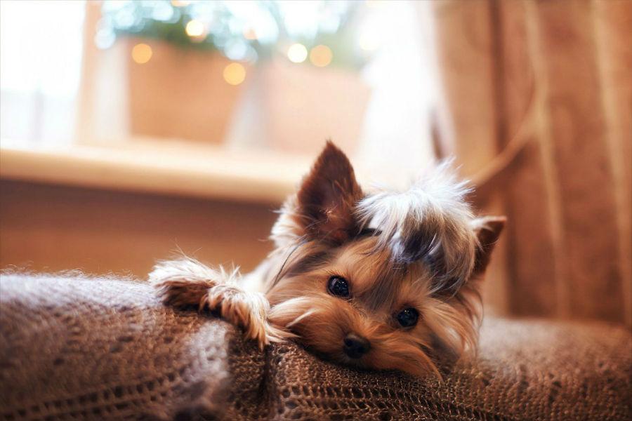 Cachorro pequeno: Yorkieshire terrier deitado no sofá.