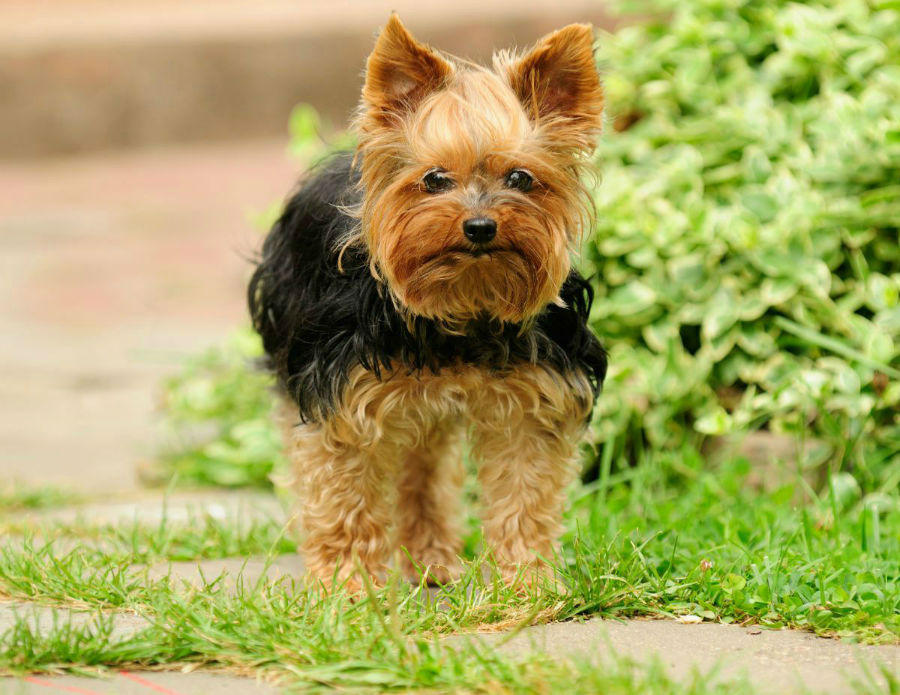 cachorro-yorkshire-atividade