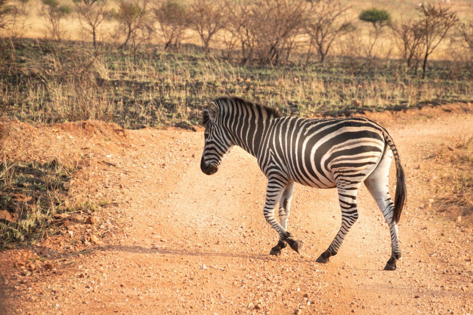 A zebra tem espírito de comunidade e vive em bandos.