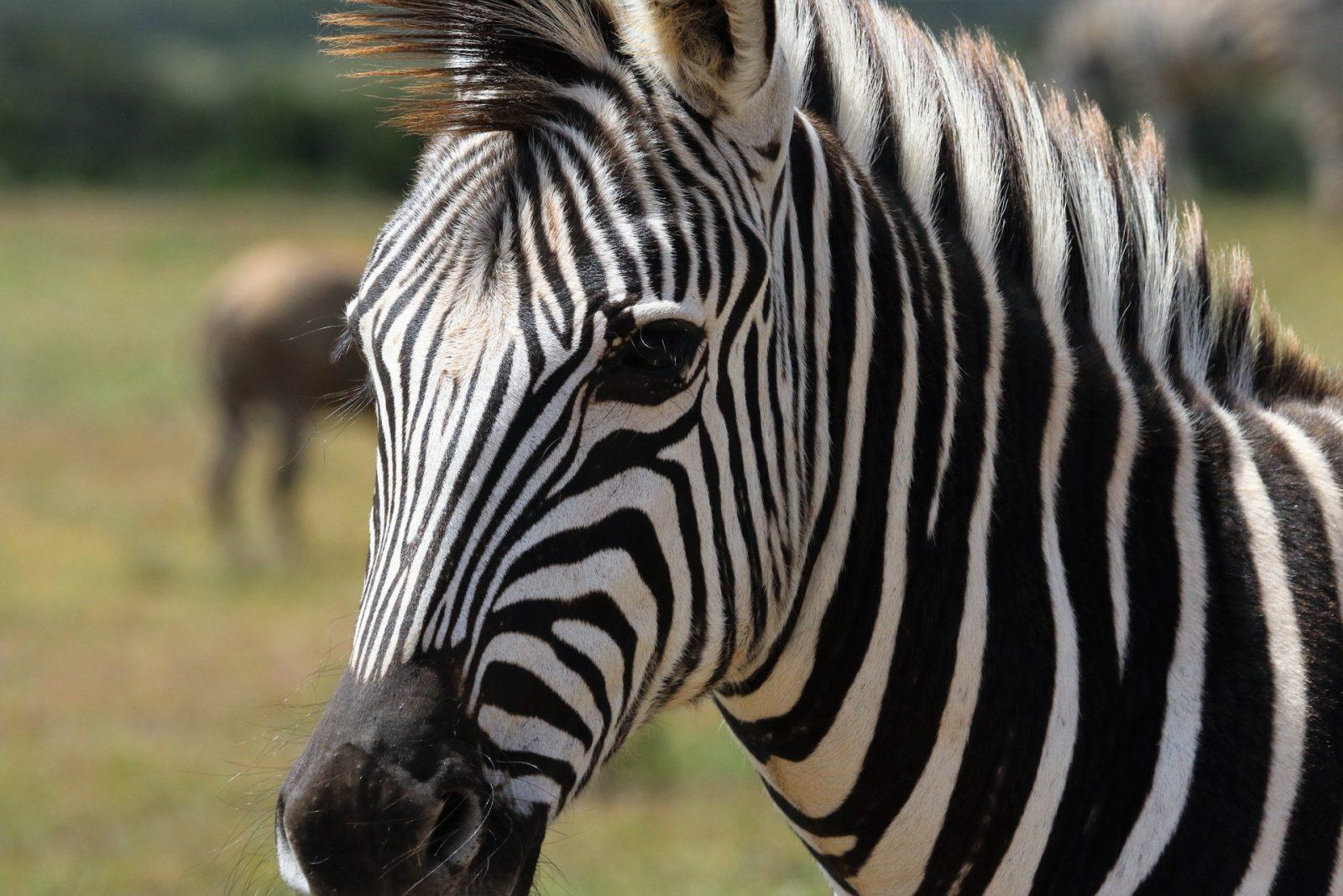 A zebra é da família dos equídeos.