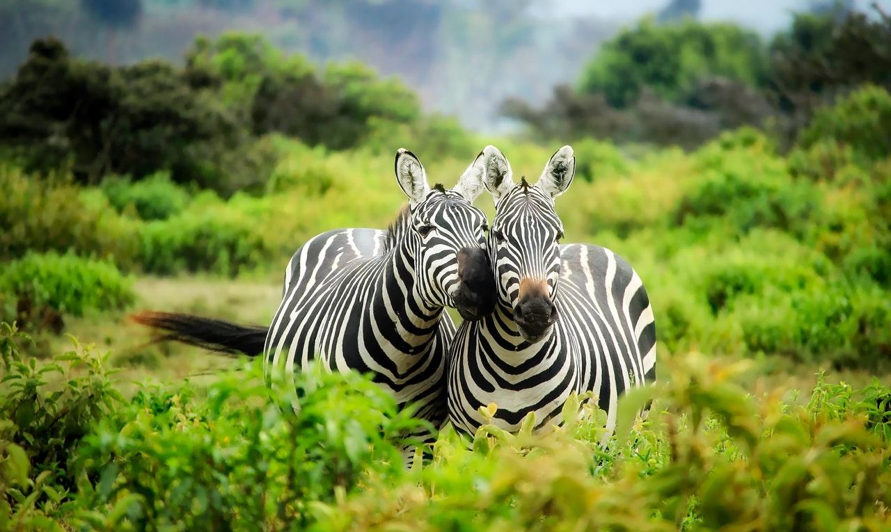 Não há um padrão de listras iguais na zebra.